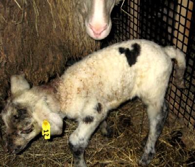 ハートマークの子羊.jpg