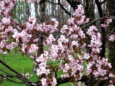 今日が満開、裏庭の山桜.jpg