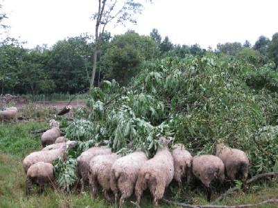 倒した木に群がるめん羊.jpg