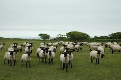 焼尻のめん羊.jpg