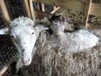 背中で眠る子羊.jpg