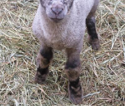 虎の足を持つ子羊IMG_0143.jpg