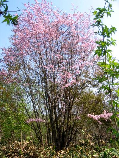 山の中に有る桜の木.jpg