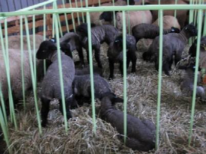 2009年生れのサフォーク子羊IMG_0305.jpg