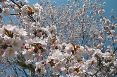 2009年5月6日 さくら咲く.jpg