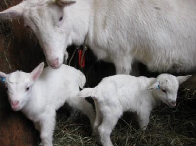 2009.0212ヤギの出産開始IMG_0173.jpg