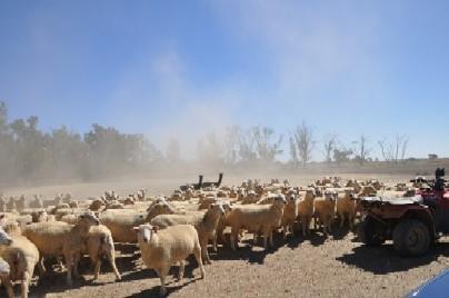 2009.0407オーストラリアめん羊牧場DSC_1354.jpg