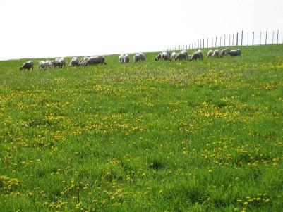 2009.0526タンポポとめん羊.jpg