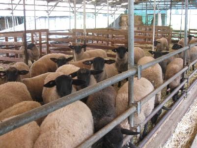 2009.0719羽黒町丸山さんのめん羊IMG_1196.jpg