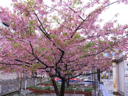 2010.0228三浦海岸駅前の桜.jpg