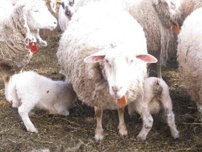 2010.0313ミルクを飲む仔羊IMG_0697.jpg