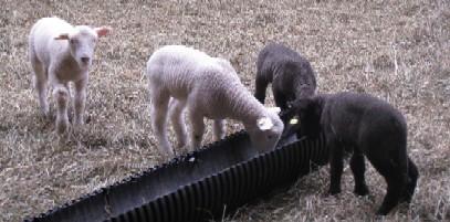 2010.0424白黒めん羊IMG_1048.jpg