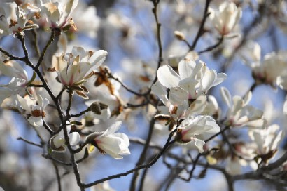 2010.0515こぶしの花DSC_4541.jpg