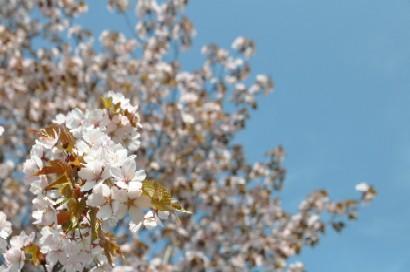 2010.0518桜満開と生鮮おろし移転開店DSC_4548.jpg