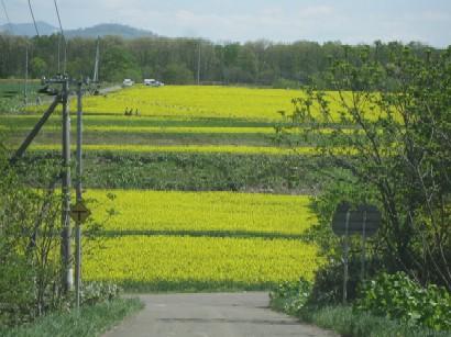 2010.0530菜の花IMG_1349.jpg