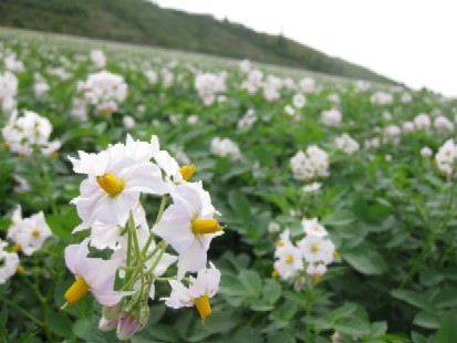 2010.072ジャガイモの花MG_2538.jpg