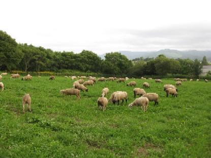 2010.0817羊の放牧IMG_2943.jpg