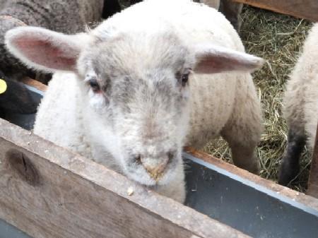 2012.0128いやしの仔羊DSCF1953.jpg