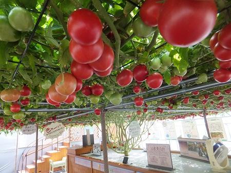 2012.0726トマトの木DSCF4651.jpg