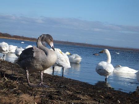 2012.1122白鳥DSCF6983.jpg