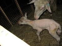 北海道サフォーク牧場 第一号の子羊誕生.jpg