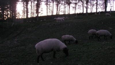 2010.1016夕暮れのサフォーク牧場IMG_3260.jpg