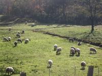 2010.1101草の無い放牧中の羊IMG_3392.jpg