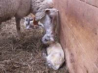 2010.1102羊今季初出産IMG_3424.jpg