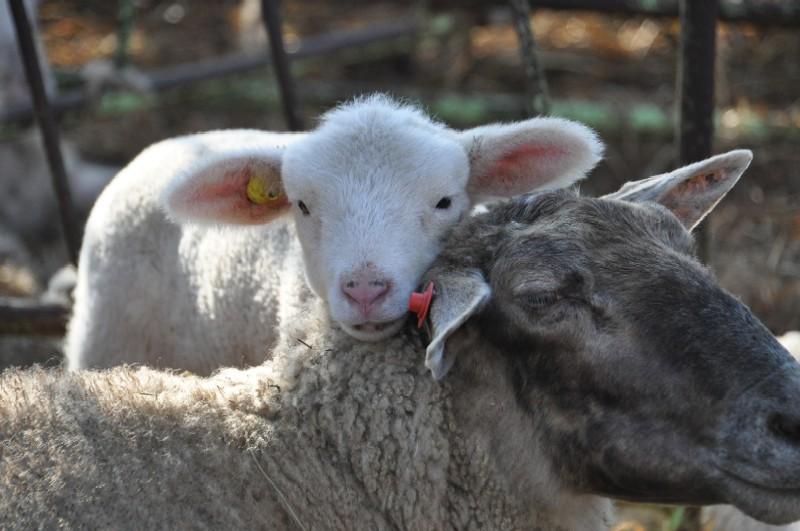 2010.1227羊の親子DSC_5549.jpg