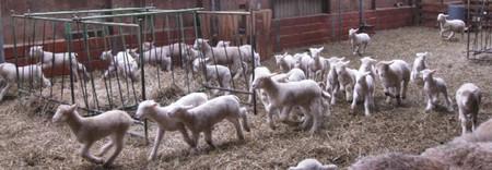 2011.0316ポールドーセット種の仔羊IMG_4225.jpg