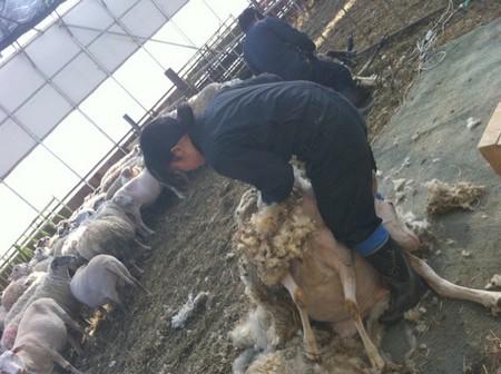 2011.0415毛刈り.JPG
