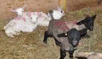 2011.0419ウサギとヤギと羊DSC_6044.jpg