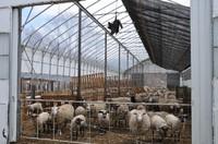 2011.0420C羊舎のカラスDSC_6085.jpg