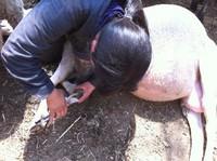 2011.0512綿羊の爪きり.JPG
