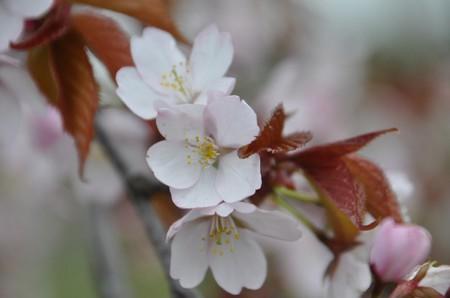 2011.0516桜の花っていとおしいDSC_6347.jpg