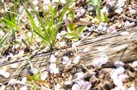 2011.0522地面に咲く桜の花DSC_6474.jpg