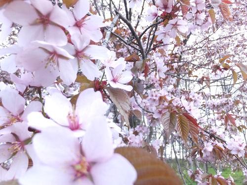 2013.0523やっと満開の桜をDSCF2485