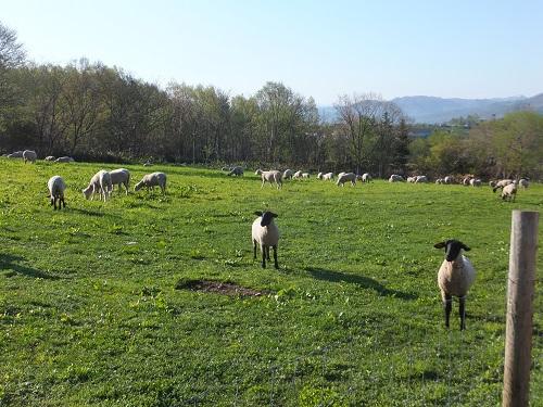 2013.0527北海道サフォーク牧場放牧風景DSCF2634