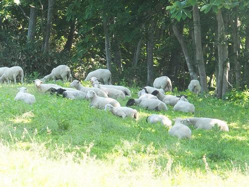 2013.0630羊は昼寝中DSCF3621