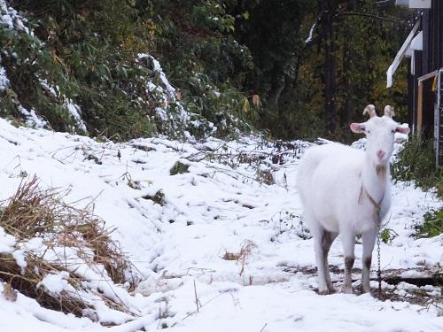 2013.1017ヤギは保護色DSCF7070