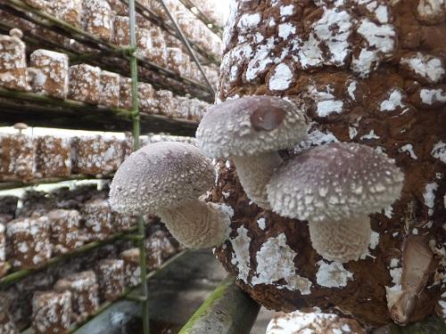 2013.1105菌床栽培のしいたけDSCF7296