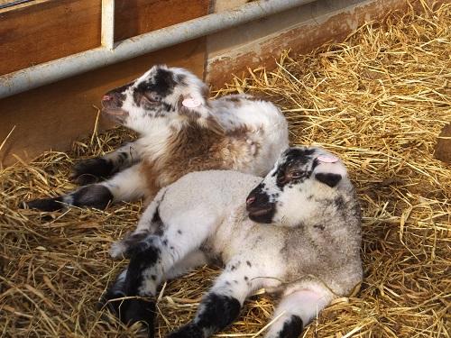 2013.1203羊のうたたねDSCF7703