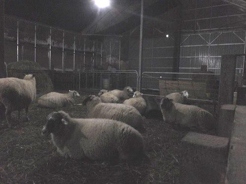 2013.1202出産を待つ羊DSCF7711
