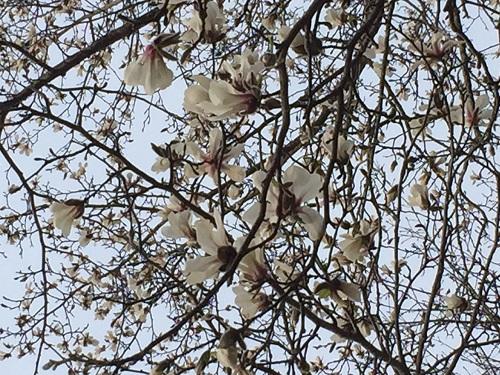 2015.0428コブシの花IMG_0682