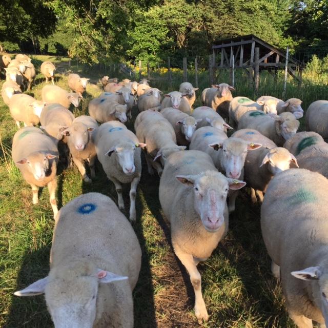 2015.0824羊の大移動IMG_0081