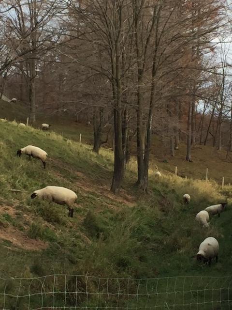 2015.1109撤収前の羊IMG_0883