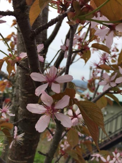2016.0517桜の花びらIMG_2439