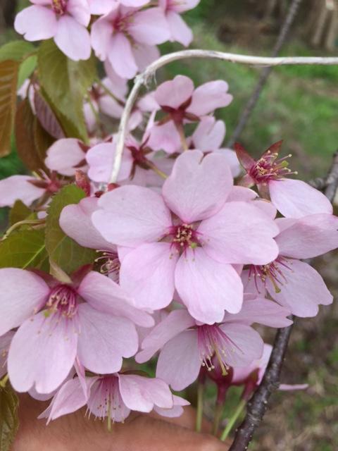 2016.0517桜の花びらIMG_2441