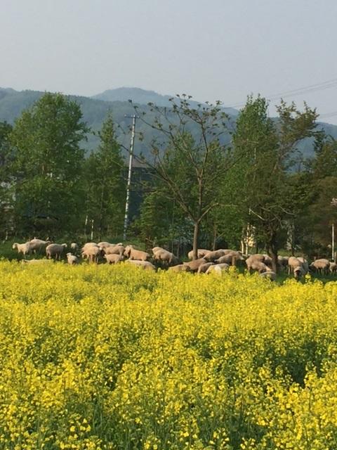 2016.0521菜花と羊IMG_2533