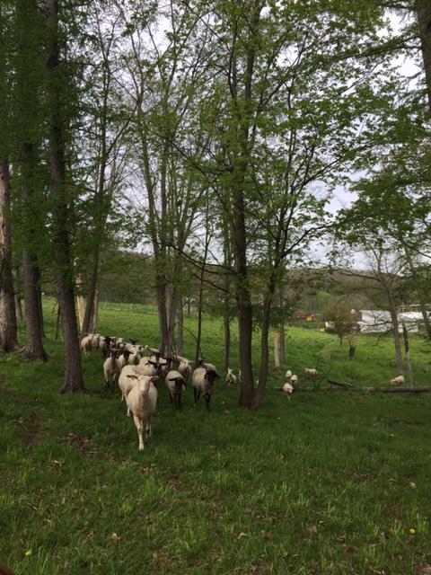 2016.0515羊の移動IMG_2506